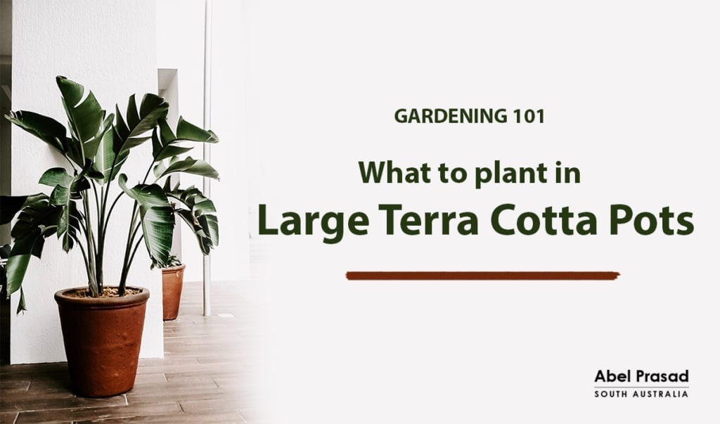 What to plant in large terracotta pots - Hobby home and garden - Abel Prasad